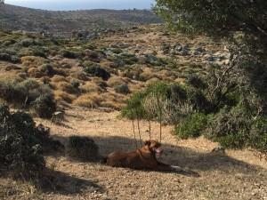 Vi satt och fikade i solen. Vår förståndiga hund la sig i skuggan av ett olivträd, klokt.